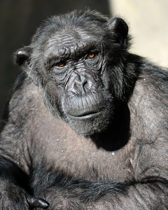 chimp-240x300-VGnCZT.jpg
